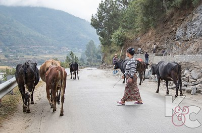 Cattle Are Herded on Same Road as Cars Use to Traverse Mountains