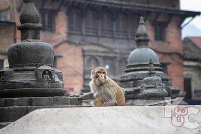 Monkey at Monkey Temple