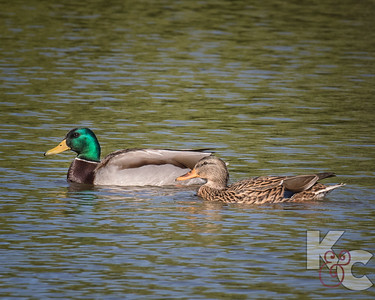 Male & Female Mallards