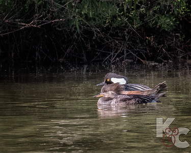 Female & Male Hooded Mergansers