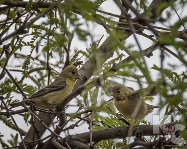 Lesser Goldfinch With Chick
