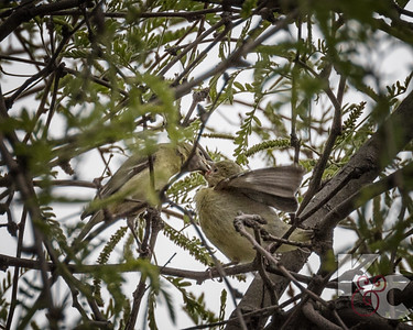Lesser Goldfinch Feeding a Chick