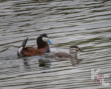 Ruddy Ducks (Male  & Female)