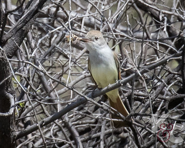 Ash-throated Flycatcher Eating a Bug