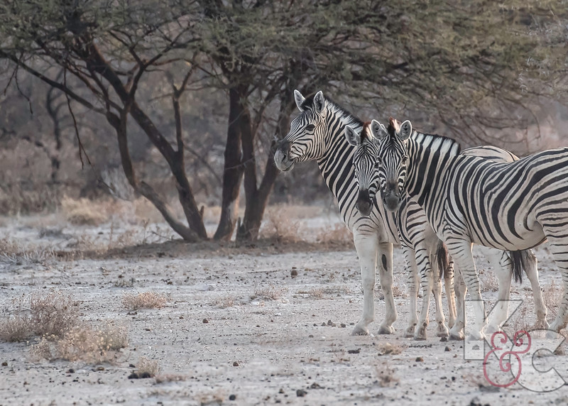"""Burchell's Zebras - Note The """"Shadow Stripes"""" Between The Black Stripes"""