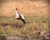Wattled Crane (Largest & Rarest Of African Cranes))