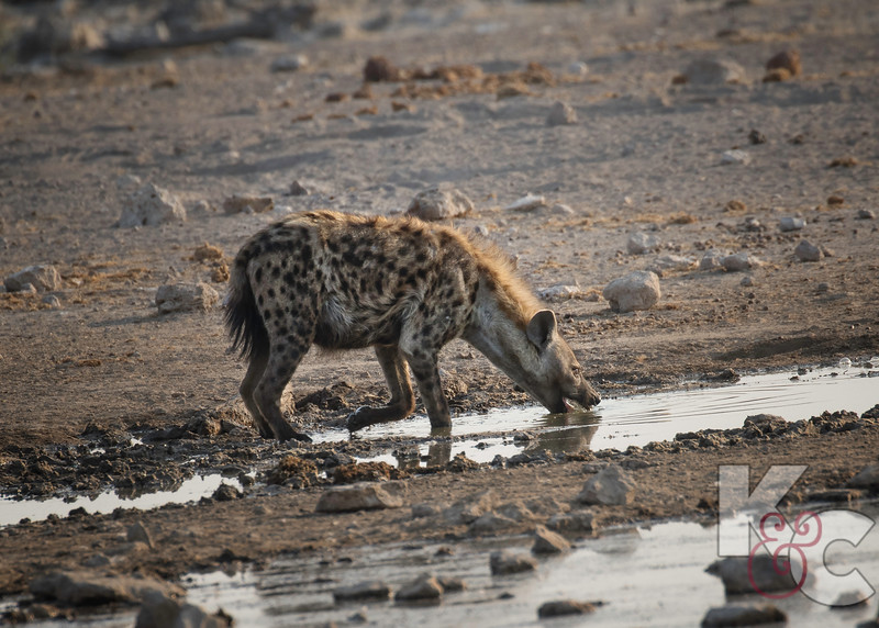 Spotted Hyena At The Watering Hole