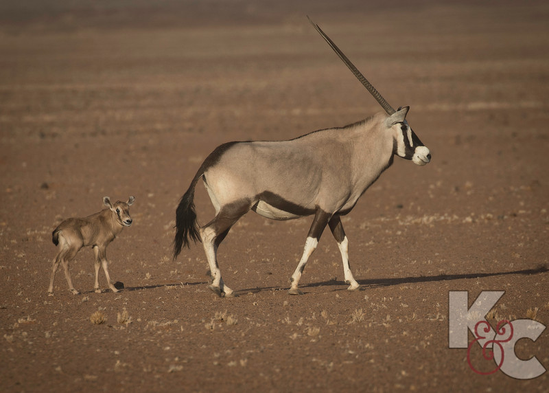 Oryx With Baby