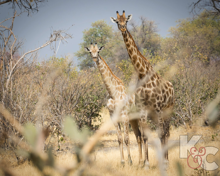 Giraffes - Youngster's Spots Are Lighter Brown