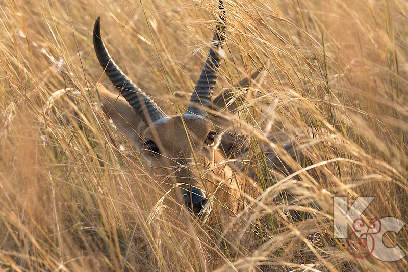 Reedbuck Hidden In Grasses