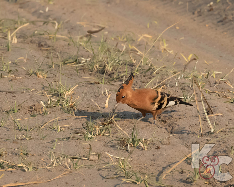 African Hoopoe Searching For Bugs