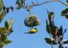 Southern Masked Weaver Hanging From Nest