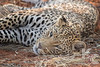 Leopard at Africat