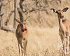 Female Impalas Munching On Flowers From The Sausage Tree