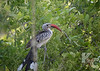 Southern Red-billed Hornbill (AKA Flying Chili Pepper)