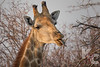 Giraffe Eating Branches