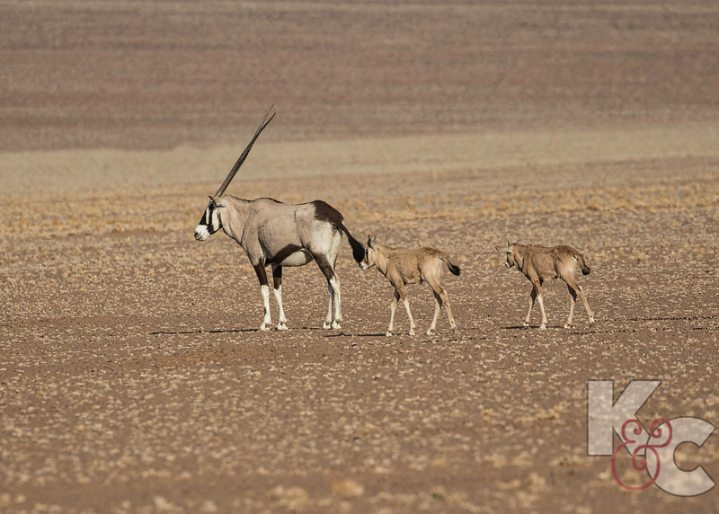 Oryx With Her Young