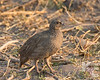 Juvenile Cape Spurfowl