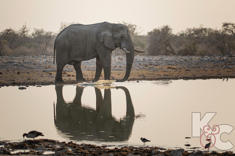 Elephant Shooting Water From Trunk