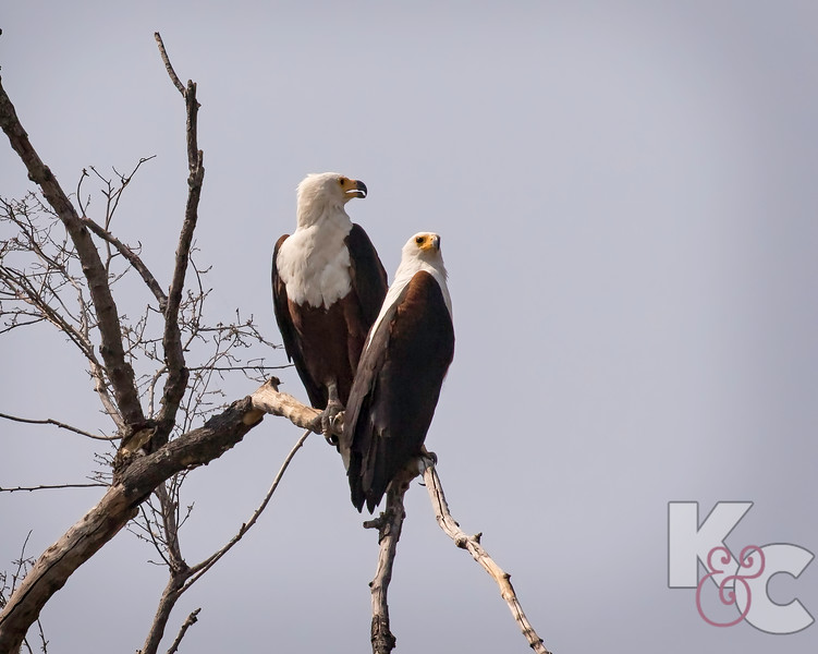 African Fish-Eagles