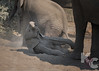 Elephant Baby At Play In The Dust