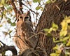 Giant Eagle (Verreaux's) Owl