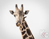 Giraffe With Bird On Neck & Tongue In Nose