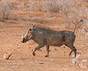 Warthog On The Run - Tail Straight Up In The Air