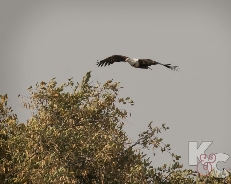 Juvenile African Fish-Eagle In Flight