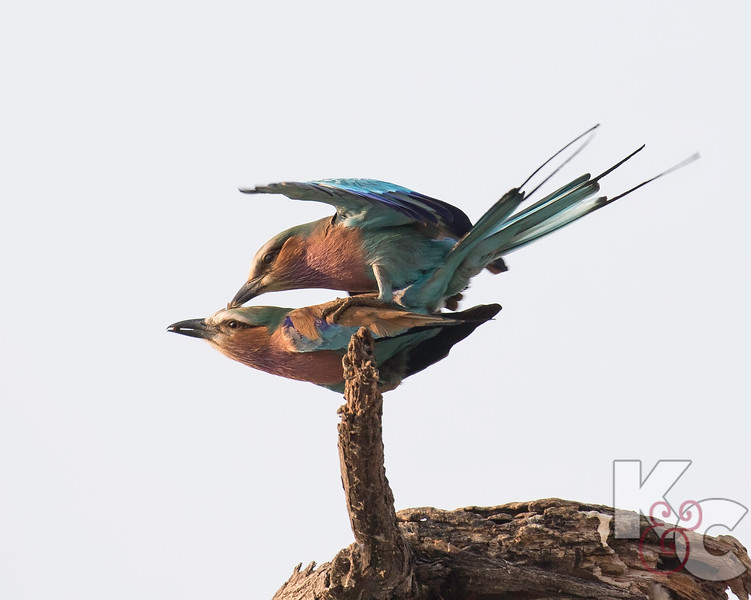 Lilac-breasted Rollers Mating