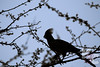 Silhouette of a Grey Go-away-bird