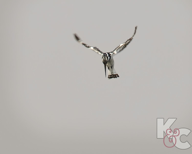 Pied Kingfisher Hovering Over The Water Looking For A Meal