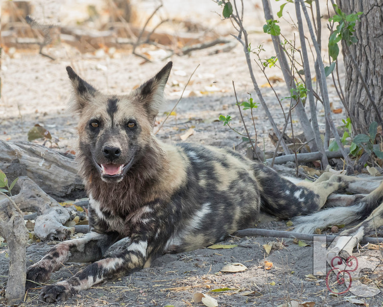 Wild Dog With Full Belly
