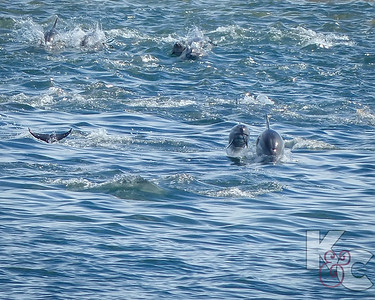 Dolphin Pod Racing To Greet Us