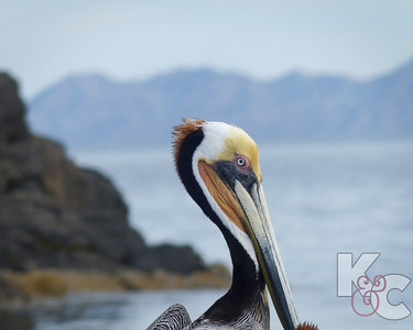 Brown Pelican (Female)