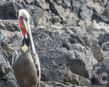 Brown Pelican (Male)