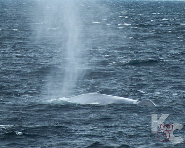 Blue Whale After Blowing - A Toddler Can Crawl Into Those Blowholes (On The Right)