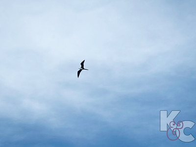 Immature Magnificent Frigatebird