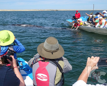 Grey Whale - With Karen & Wendy In The Foreground