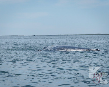 Grey Whale Calf Traveling On Mama's Left Side
