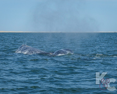 Grey Whale Calf Slipping Back Into Water Off Mama's Back
