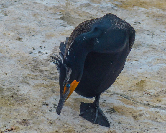 Double-Crested Cormorant With Breeding Plumage