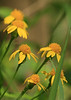 Golden Ragwort<br /> by Arlene Gmitter<br /> Walk #1: Carderock Recreation Area, April 20, 2013
