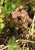 Toad<br /> by Arlene Gmitter<br /> Walk #1: Carderock Recreation Area, April 20, 2013