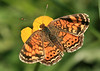 Pearl Crescent<br /> by Arlene Gmitter<br /> Walk #1: Carderock Recreation Area, April 20, 2013