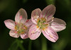 Spring Beauties<br /> by Arlene Gmitter<br /> Walk #1: Carderock Recreation Area, April 20, 2013