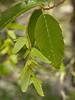 American Hornbeam fruits, <I>Carpinus caroliniana</I> by Liz Jones Walk #2: Great Falls, June 5, 2013