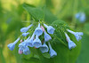 Virginia Bluebells<br /> by Arlene Gmitter<br /> Walk #1: Carderock Recreation Area, April 20, 2013