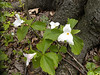 Trillium<br /> by Carol Vorosmarti<br /> Extra: Thompson Wildlife Management Area, May 3, 2013