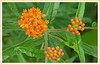 Woodend Butterfly Weed